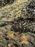 Mussels, Gooseneck Barnacles, Pisaster Sea Stars and Green Anemones on the Oregon Coast, USA Photographic Print by Stuart Westmoreland