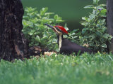 Pileated Woodpecker at Stump, Louisville, Kentucky, USA Papier Photo par Adam Jones