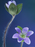 Round-Lobed Hepatica Bud and Fleur, Lapeer, Michigan, USA Photographic Print by Claudia Adams