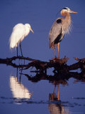 Great Egret and Great Blue Heron on a Log in Morning Light Photographic Print by Charles Sleicher