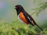 Male Rufous-Sided Towhee Photographic Print by Adam Jones