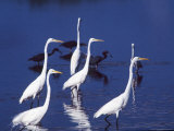 Great Egrets Fishing with Tricolored Herons in the Background Photographic Print by Charles Sleicher