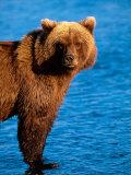 Brown Bear in Katmai National Park, Alaska, USA Fotografisk tryk af Dee Ann Pederson
