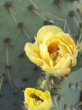 Prickly Pear Cactus Flower, Saguaro National Park, Arizona, USA Photographic Print by Jamie & Judy Wild