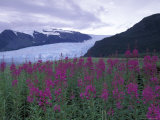 Fireweed in Aialik Glacier, Kenai Fjords National Park, Alaska, USA Photographic Print by Paul Souders