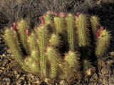 Flowering Hedgehog Cactus, Saguaro National Park, Arizona, USA Photographic Print by Jamie &amp; Judy Wild