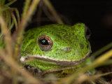 Barking Treefrog on Limb with Resurrection Fern and Spanish Moss, Florida, USA Photographic Print by Maresa Pryor