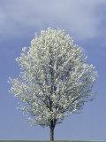 Adam Jones - Bradford Pear in Full Bloom, Louisville, Kentucky, USA Fotografická reprodukce