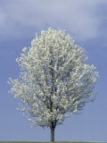 Bradford Pear in Full Bloom, Louisville, Kentucky, USA Photographic Print by Adam Jones