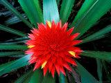 Flower of Bromeliad, Wild Pineapple, Barro Colorado Island, Panama Valokuvavedos tekijänä Christian Ziegler