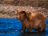 Brown Bear Fishing in Katmai National Park, Alaska, USA Fotografie-Druck von Dee Ann Pederson