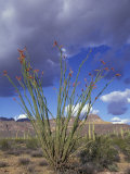 Flowering Ocotillo with Saguaro, Organ Pipe Cactus National Monument, Arizona, USA Photographic Print by Jamie & Judy Wild
