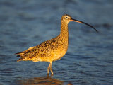 Long-Billed Curlew, Florida, USA Photographie par Charles Sleicher