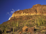 Organ Pipe Forest with Saguaro, Organ Pipe Cactus National Monument, Arizona, USA Photographic Print by Jamie & Judy Wild