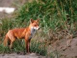 Red Fox, Alaska Peninsula, Alaska, USA Fotografie-Druck von Dee Ann Pederson