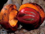 Fruit of Wild Nutmeg, Barro Colorado Island, Panama Photographic Print by Christian Ziegler