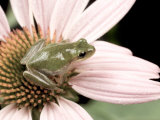Squirrel Treefrog on Echinacea Flower, Florida, USA Photographic Print by Maresa Pryor