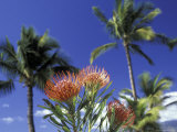 Protea and Palms, Maui, Hawaii, USA Photographic Print by Darrell Gulin