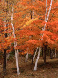 White Birch Trees in Fall, Vermont, USA Photographic Print by Charles Sleicher