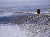 Bald Eagle, Chilkat Bald Eagle Preserve, Valley Of The Eagles, Haines, Alaska, USA Fotografisk tryk af Dee Ann Pederson