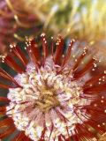 Protea Flower, Maui, Hawaii, USA Valokuvavedos tekijänä Darrell Gulin