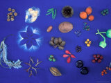 Collection of Native Seeds and Fruits, Barro Colorado Island, Panama Photographic Print by Christian Ziegler