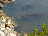 Manatees in Intercoastal Waterway, Merritt Island National Wildlife Refuge, Florida, USA Photographic Print by Lisa S. Engelbrecht
