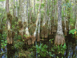 Cypress Swamp, Corkscrew Audubon Sanctuary, Naples, Florida, USA Photographic Print by Rob Tilley