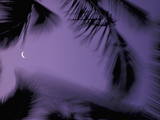 Palm Trees at Dusk with Crescent Moon, Big Island, Hawaii, USA Photographic Print by John &amp; Lisa Merrill