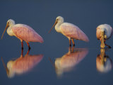 Flock of Roseate Spoonbills, Myakka River State Park, Florida, USA Photographie par Maresa Pryor