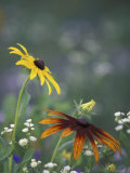 Black-Eyed Susan and Gloriosa Daisy, Oldham County, Kentucky, USA Photographic Print by Adam Jones
