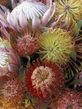 Proteas, Maui, Hawaii, USA Photographic Print by Darrell Gulin