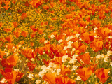 Poppies and Cream Cups, Antelope Valley, California, USA Photographic Print by Terry Eggers