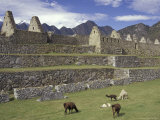 Llama and Ruins, Machu Picchu, Peru Photographic Print by Claudia Adams