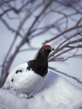 Willow Ptarmigan Perching in Willow Thicket, Denali National Park, Alaska, USA Photographie par Hugh Rose