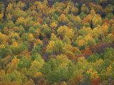 Fall Colors in a Northern Hardwoods Forest, Maine, USA Photographic Print by Jerry & Marcy Monkman