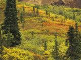 Black Spruce, Bearberry and Blueberry Bushes, Denali National Park, Alaska, USA Photographic Print by Stuart Westmoreland