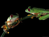 Red-Eyed Tree Frogs, Barro Colorado Island, Panama Photographic Print by Christian Ziegler
