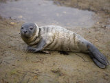 Baby Harbor Seal in Marquoit Bay, Brunswick, Maine, USA Photographic Print by Jerry & Marcy Monkman
