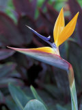 Bird of Paradise, Hawaii, USA Photographic Print by John & Lisa Merrill