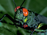 Red-Eyed Grasshopper, Barro Colorado Island, Panama Photographic Print by Christian Ziegler