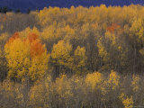 Aspen Grove in Fall, Victor, Idaho, USA Photographic Print by Jamie & Judy Wild
