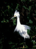 Snowy Egret at Ding Darling National Wildlife Refuge, Sanibel Island, Florida, USA Photographic Print by Jerry & Marcy Monkman
