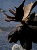 Bull Moose at Whidden Pond, Baxter State Park, Maine, USA Photographic Print by Jerry & Marcy Monkman