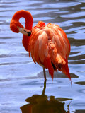 Flamingo in Water Photographic Print by Lisa S. Engelbrecht