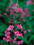 Fireweed in Denalia National Park, Alaska, USA Photographic Print by Dee Ann Pederson