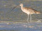 Long-Billed Curlew on North Beach at Fort De Soto Park, Florida, USA Papier Photo par Jerry & Marcy Monkman