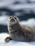 Harbor Seal on Ice Flow, Le Conte Glacier, Alaska, USA Photographic Print by Michele Westmorland