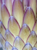Protea, Maui, Hawaii, USA Photographic Print by Darrell Gulin