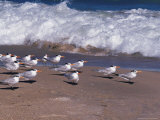 Cape Canaveral Royal Terns, Florida, USA Photographic Print by Dee Ann Pederson